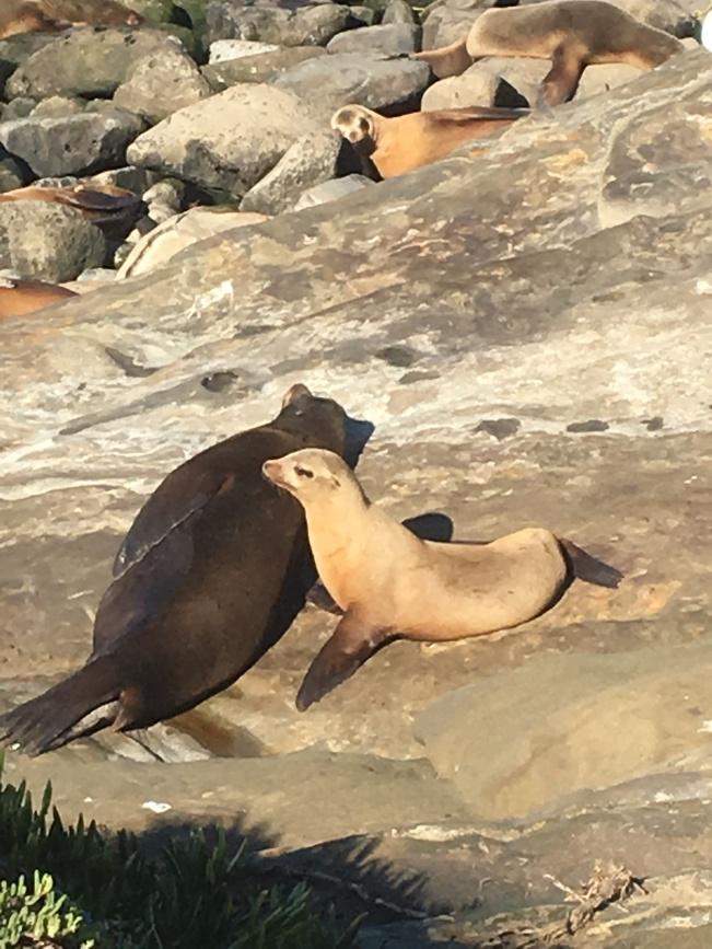 la-jolla-seals